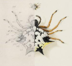 Austracantha minax / Christmas spider (Austracantha minax), 1805. Foto: NHM Wien / Natural History Museum, London