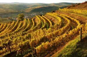 Blick auf einen herbstlichen Weingarten. Foto: ÖWM / Komitee Kamptal