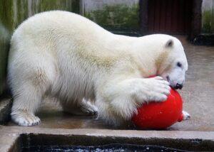 Eisbärin Nora noch in ihrem Zoo in Tallinn. Foto: Inari Leiman