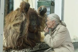 Jane Goodall beim Zoo Wien-Besuch mit Orang-Utan-Männchen Vladimir. Foto: Daniel Zupanc