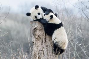 Fu Feng und Fu Ban. Foto: Daniel Zupanc