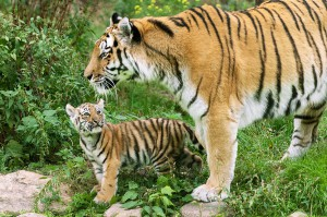 Die Tiger sind vom Aussterben bedroht. Seit vielen Jahren kämpfen die Zoos weltweit dagegen an. Mit speziellen Zuchtprogrammen will nun der Mensch verhindern, was er selbst mit der Ausrottung der Tiere vorangetrieben hat. Foto: Daniel Zupanc