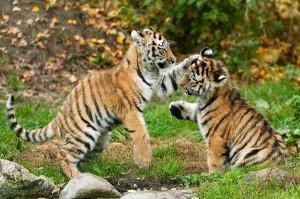 In diesem neuen Kinder-Buch aus dem KIKO-Verlag wird kindgerecht vermehrt auf die Arterhaltung des Sibirischen Tigers hingewiesen. Foto: Daniel Zupanc