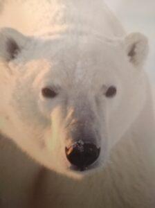 Gemäß Schätzungen und Zählungen leben nur noch zwischen 16.000 und 20.000 Eisbären - 2015 waren es noch 25.000 Exemplare !!! - in Freiheit. Foto: oepb
