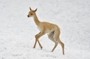 Vikunja-Jungtier tollt durch den Schnee. Foto: Tiergarten Schönbrunn/Norbert Potensky
