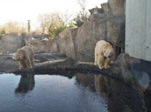 Das Eis schmilzt den Tieren jedoch sprichwörtlich unter den Pfoten weg. In Zoos finden sie zwar Überlebens-Chancen vor, wenngleich die Tiere natürlich eingesperrt sind. Foto: oepb