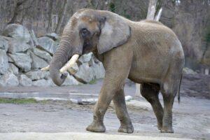 Stolz, neugierig und frohen Mutes fand sich Elefant Shaka nun für die Fahrt nach England ein. Foto: Tiergarten Schönbrunn/Norbert Potensky