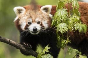 Panda-Weibchen Mahalia. Foto: Daniel Zupanc