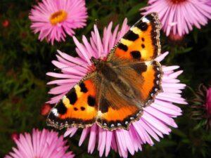 Mit einem schmetterlingsfreundlichen Umfeld wird man nicht nur mit dem Besuch von Schmetterlingen belohnt, man betreibt auch aktiven Artenschutz. Foto: bellaflora