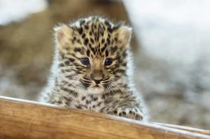 Neugierig beim Erkunden der Welt zeigt sich dieser kleine Leoparden-Nachwuchs im Zoo Wien. Foto: Daniel Zupanc
