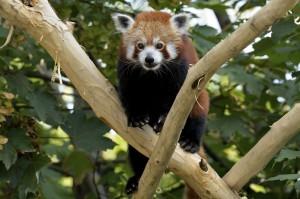Rotes Panda-Weibchen Mahalia. Foto: Tiergarten Schönbrunn / Norbert Potensky