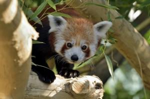 Rotes Panda-Männchen Manjul. Foto: Tiergarten Schönbrunn / Norbert Potensky