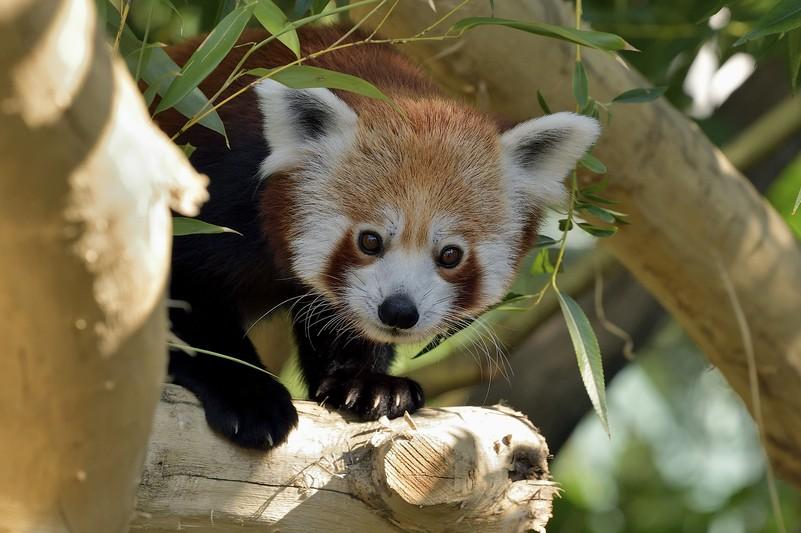 Panda Schönbrunn