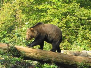Mit ein wenig Geduld kann man auch den Braunbär beim Spaziergang durch sein Gehege beobachten. Foto: oepb
