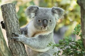 Koala-Männchen Wirri Wirri. Foto: Daniel Zupanc