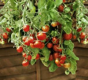 Mit 50 verschiedenen Bio-Tomaten verfügt bellaflora über eine große Vielfalt in ihrem Bio-Sortiment. Foto: bellaflora
