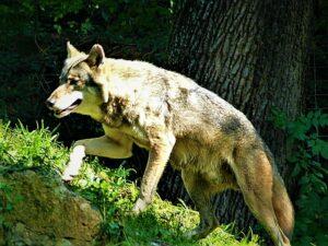 Ein ganz und gar nicht böser Wolf erklimmt die Hügellandschaft seines Geheges. Foto: oepb