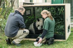 Die Tierpfleger Renate Haider und Markus Domanegg bereiten die Pandas behutsam für die große Reise vor. Foto: Daniel Zupanc