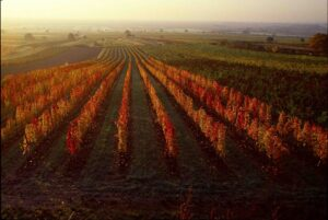 Blick auf einen herbstlichen Weingarten im Burgenland. Foto: ÖWM / Lukan