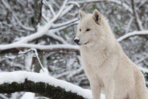 Wolf-Foto: Jutta Kirchner