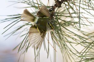 Die Sichtung des seltenen Goldhähnchen-Laubsängers dieser Tage in Wien stellt laut Archiv von BirdLife Österreich ...