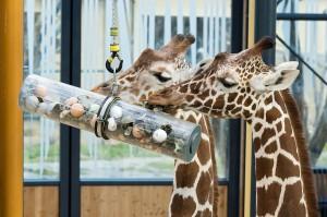 Giraffen-Foto: Daniel Zupanc