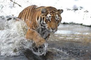 Tiger-Foto: Jutta Kirchner