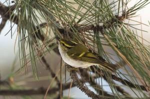 .. den zweiten Nachweis des seltenen Vogels in Österreich dar. Beide Fotos: Leander Khil