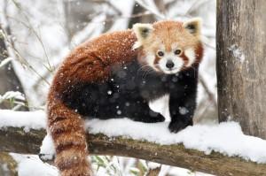 Roter Panda-Foto: Josef Gelernter