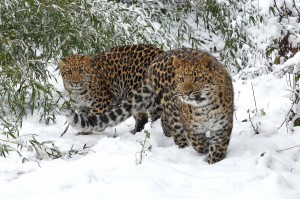Leoparden-Zwillinge-Foto: Josef Gelernter