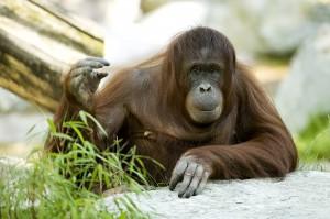 Orang-Utan-Weibchen Sol im Zoo Wien. Foto: Daniel Zupanc