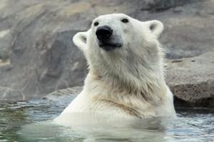 Eisbärin Nora im Zoo Wien. Foto: Daniel Zupanc