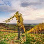 Blick in einen herbstlichen Weingarten im niederösterreichischen Hollabrunn nach der Ernte. Foto: ÖWM / Marcus Wiesner