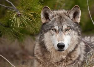 Vermehrt wird ³Isegrim² wieder in den heimischen Wäldern gesichtet. 2016 beispielsweise im niederösterreichischen Waldviertel bei Allensteig gab es erstmals nach 100 Jahren wieder einen Wolf-Nachwuchs zu verzeichnen. Foto: Thinkstock