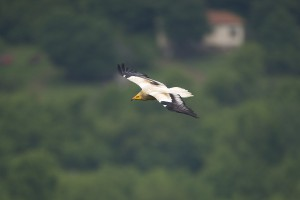 Freifliegender Schmutzgeier in Bulgarien. Foto: www.LifeNeophron.eu/Franz C. Robiller