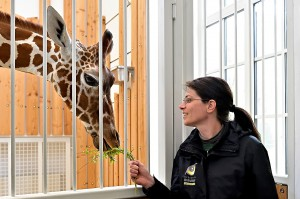Zoologin Eveline Dungl mit Giraffenbulle Obi. Foto: Tiergarten Schönbrunn / Norbert Potensky