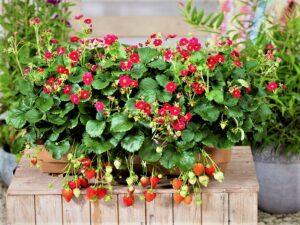 Bei bellaflora gibt es die besonders schöne und immer tragende Erdbeere Fragaria Summer Breeze Rose. Foto: Volmary GmbH