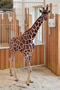 Ein feiner Prachtkerl ist Obi, der vor zwei Tagen im Zoo Wien eingezogen ist. Foto: Tiergarten Schönbrunn / Norbert Potensky