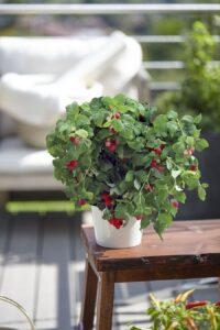 Bei bellaflora gibt es auch eine große Auswahl an Balkon-Himbeeren. Foto: Volmary GmbH