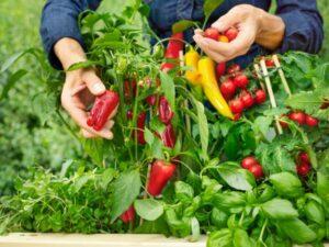 Mit bellaflora biogarten gibt es Bio Gourmet-Gemüse in einer großen Auswahl an alten und seltenen Sorten. Foto: bellaflora