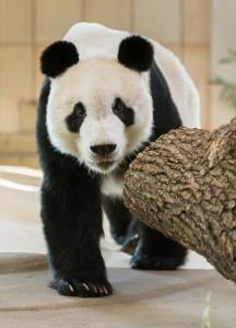 Nach seiner Ankunft im Wiener Tiergarten Schönbrunn erkundete Yuan Yuan sofort sein neues Zuhause. Foto: Daniel Zupanc