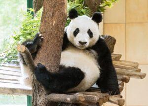 Panda Yuan Yuan. Foto: Daniel Zupanc
