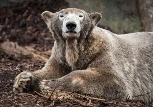 Eisbären-Foto: Daniel Zupanc