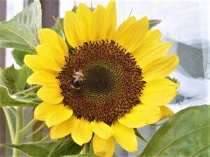 Das Überleben dieser kleinen Insekten zu gewährleisten MUSS unser aller oberstes Gebot sein. Denn wenn die Biene stirbt, dann ist es mit der Menschheit auch nicht mehr weit her ... Foto: oepb