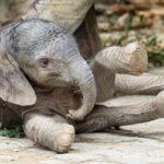 Der Elefanten-Nachwuchs ist da. Foto: Daniel Zupanc