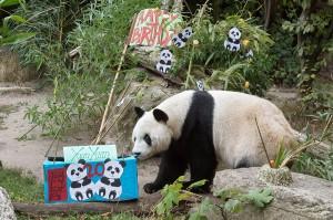 Panda-Geburtstagskind Yuan Yuan. Foto Daniel Zupanc