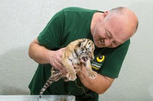 Tierpfleger Andreas Eder kümmert sich fürsorglich um die kleinen Raubkatzen. Foto: Daniel Zupanc