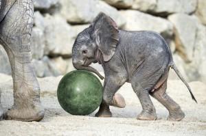 Elefanten-Baby Kibali. Foto: Daniel Zupanc
