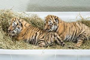 Tiger-Baby-Foto: Daniel Zupanc