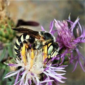 Wärmere Sommer haben in diesem Fall auch einen Vorteil: bisher unbekannte Wildbienenarten, die sonst nur im Süden anzutreffen sind, werden auch bei uns heimisch. Foto: NHM